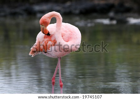 A beautiful pink flamingo wading in the water of a brackish lake