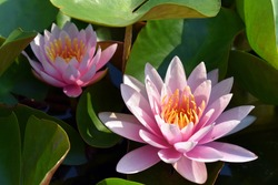 A beautiful pink fresh lotus flower was blooming  in the morning .