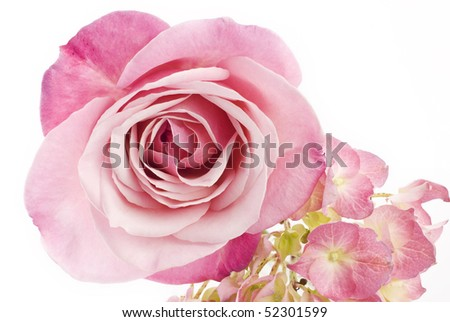 A beautiful pink rose and hydrangea on a horizontal white background with copy space, perfect for Mother's Day or Easter