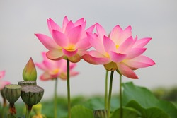 A Beautiful pink sacred lotus flower on white blurred sky background.
