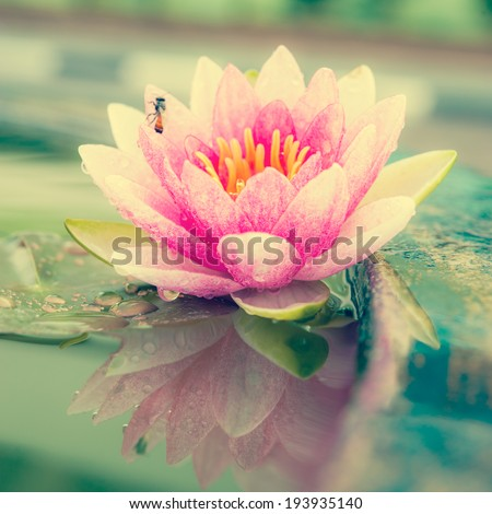 A beautiful pink waterlily or lotus flower in pond vintage photo filtered retro style