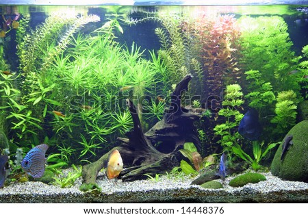 A beautiful planted tropical freshwater aquarium with bright blue and orange discus fish.