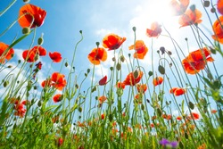 A beautiful poppy flower field as seen from ant's perspective