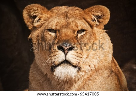 a beautiful portrait of a female lion