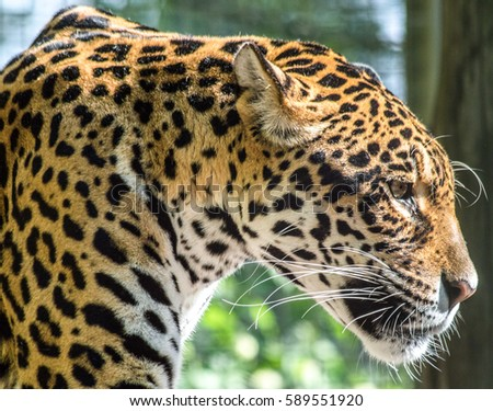 A beautiful profile picture from a jaguar. The light comes into his face and contouring it. Stock fotó ©