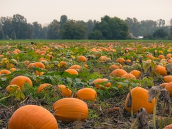 A beautiful pumpkin patch in Canada during the fall for Thanksgiving and Halloween.