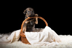A beautiful puppy in a wicker basket on a white blanket. Studio photo on a black background. Horizontally framed shot.