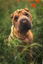 A beautiful puppy of horse-coat Shar-pei
