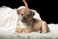 A beautiful puppy on a white blanket. Studio photo on a black background. Horizontally framed shot.