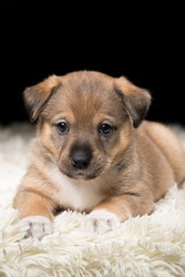 A beautiful puppy on a white blanket. Studio photo on a black background. Vertically framed shot.