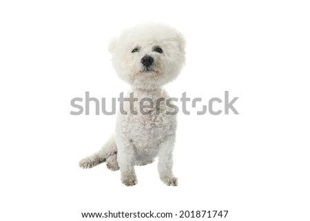 A Beautiful pure breed Bichon Frise dog looks eats her dinner from a Heart Shaped Ceramic Bowl as she has her portrait taken. Isolated on white with room for your text.