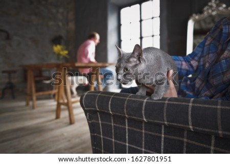 A beautiful Purebred gray cat sits on a chair next to the owner against the background of the home interior and an anonymous man sitting in the distance. Relaxation concept.