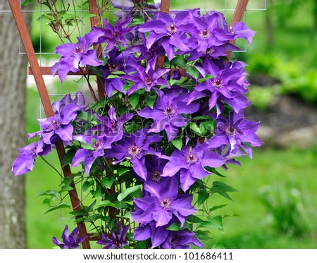 A beautiful, purple clematis (The President) growing up a trellis in a woodland garden.
