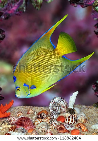 A beautiful Queen Angelfish (Holacanthus ciliaris) feeding amid colorful seashells and a purple coral reef.