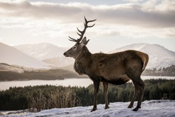 A beautiful red deer standing in front of a snowy landscape with a beautiful snowed background at sunset