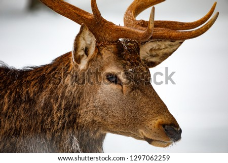 A beautiful red deer standing in front of a snowy landscape with a beautiful snowed background in the forest #1297062259