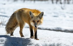A Beautiful Red Fox Approaching in the Snow
