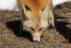 A Beautiful Red Fox Eating Birdsee