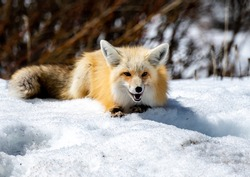 A Beautiful Red Fox Lounging on a Snowbank