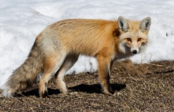 A Beautiful Red Fox under a Bird Feeder