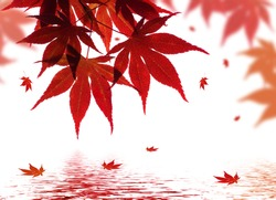 A beautiful red maple branch reflected in water with falling leaves in a pond