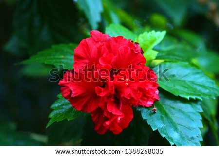 A beautiful red rose blooming in the Philippines. #1388268035