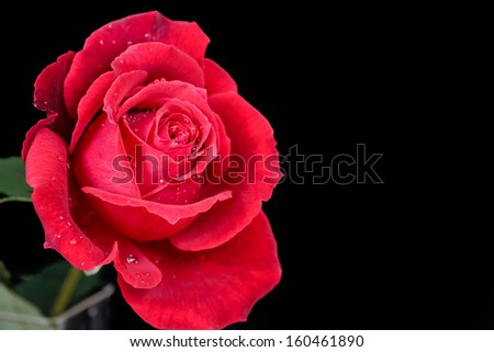 A beautiful red rose isolated on a black background with water droplets