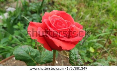 A beautiful red rose ( kırmızı gül)  Stok fotoğraf ©