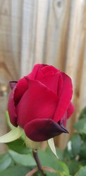 A beautiful red rosebud from the garden