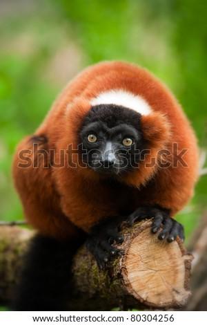 a beautiful red ruffed lemur (Varecia rubra) - stock photo