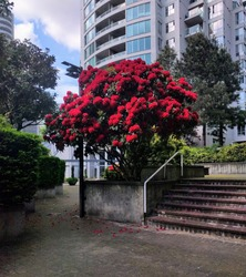 A beautiful red tree in the center of a park in the middle of the city