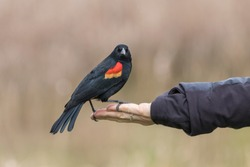 A Beautiful Red Winged Black Bird Eating out of a Hand