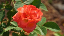 a beautiful reddish orange rose flower image. Flowers in India.