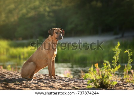 A beautiful Rhodesian Ridgeback dog in the nature by the lake #737874244
