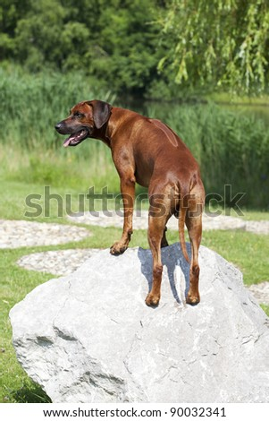 a beautiful rhodesian ridgeback male is standing on a stone and shows his long ridge on his strong back