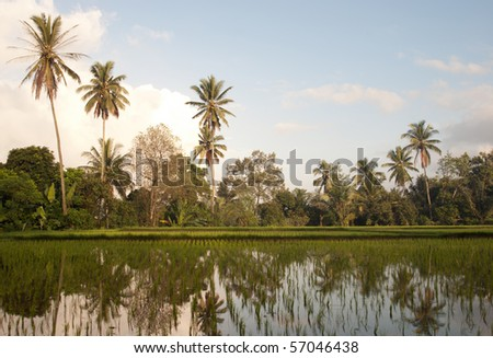 A beautiful  rice field near Ubud, Bali with reflections of palms in the water