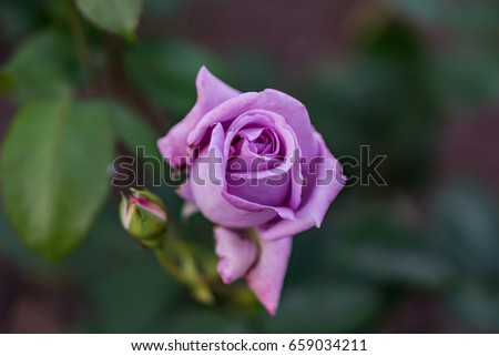 A beautiful rose blossomed in the garden. Gentle pale purple color on green shrub. Shallow depth of focus. Concept vintage, garden. #659034211