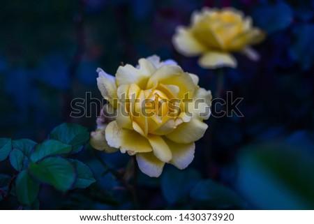 A Beautiful Rose closeup picture
