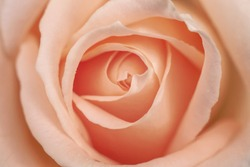 A beautiful rose of a pleasant delicate pink and pastel color for presintation, advertising or avatar picture.