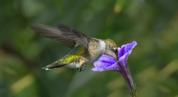 A Beautiful Ruby Throated Hummingbird Drinking from a Petunia