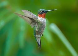 A Beautiful Ruby Throated Hummingbird (male) in Flight