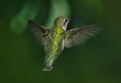 A Beautiful Ruby-Throated Hummingbird with It's Wings Spread