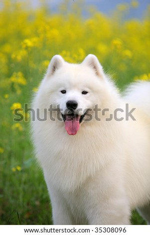 a beautiful samoyed  smile to  me