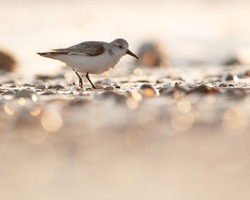 A BEAUTIFUL SANDERLING WADER BIRD ON A GLISTENING BEACH AS THE SUN RISES GIVING DOF AND A SEA OF BOKEH. BRITISH BIRDS WILDLIFE