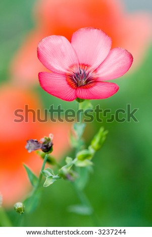 A beautiful scarlet flax flower with a background of red poppies and green. Linum grandiflorum.