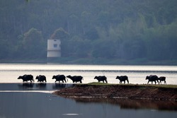 A beautiful scene of a herd of Indian water Buffaloes entering into a lake from grassland in a line with great sense of discipline.