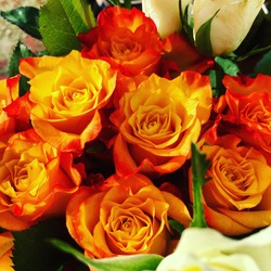 A beautiful selection of red orange and white roses in full bloom with green leaves