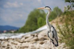 A beautiful shallow focus shot of a long-legged, freshwater bird called heron standing on a rock