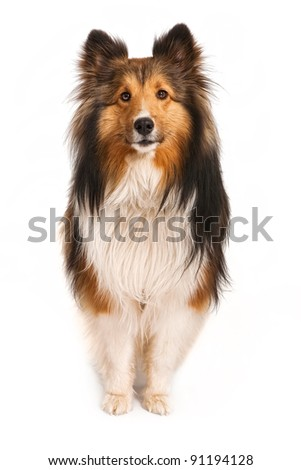 A beautiful Shetland Sheepdog looking at the camera. Isolated on white.
