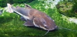A beautiful shot of a catfish swimming near the ground underwater